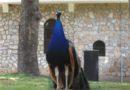 Nap képe: Páva a Sveti Naum kolostornál